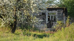 Apple tree blooming. Old rotten house at countryside stock footage