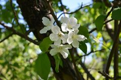 Apple tree blooming in orchard. Spring garden stock image