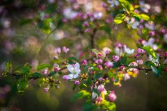 Apple tree blooming in pink royalty free stock photography