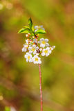 Apple tree blooming Stock Photography