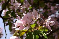 Apple tree blooming. Spring pink flowers. Malus Niedzwetzkyana Stock Photography