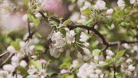 Apple tree blooming during spring season. 4K stock video