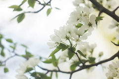 Apple tree. Blooming apple tree in the sun Royalty Free Stock Photos