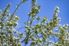 Apple tree blooms against the sky on a blue backgroun stock image