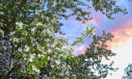 The Apple tree blooms in springe. Flowering branches of Apple on sky background Royalty Free Stock Photography