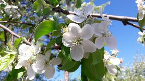 When the apple tree blooms royalty free stock photo