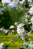 Apple tree blossom 007 Royalty Free Stock Images
