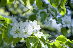 Apple tree blossom. Among green leaves Royalty Free Stock Images