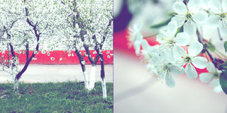 Apple-tree blossom Royalty Free Stock Image