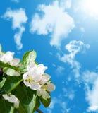 Apple-tree blossom Stock Photography