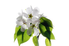 Apple-tree Blossom. Apple blossom isolated on white useful for prints decorations Royalty Free Stock Image