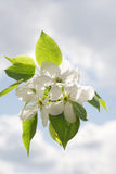Apple-tree Blossom. Apple blossom on cloudy sky background Royalty Free Stock Image