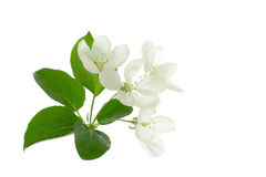 Apple-tree Blossom. Apple blossom isolated on white useful for prints decorations Royalty Free Stock Photography