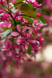 Apple tree blossom. Beautiful pink apple blossom with some leaves royalty free stock photography