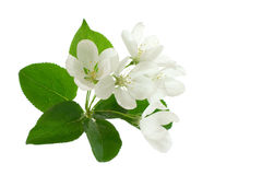 Apple-tree Blossom. Apple blossom isolated on white useful for prints decorations Stock Photos