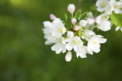 Apple tree blossom Royalty Free Stock Photo