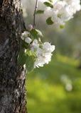 Apple tree blossom. Royalty Free Stock Photos