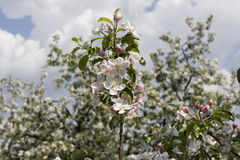 Apple tree blossom. In spring Royalty Free Stock Photography