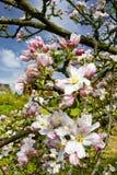 Apple tree blossom. Cherry blossom in Franconia, Germany Stock Photo