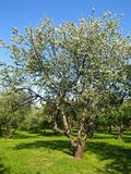 Apple tree in blossom. In the garden on blue sky and green grass, vertical Stock Image