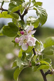 Apple tree blossom. Close-up of apple blossom from the orchards of Kivik, Sweden Royalty Free Stock Image