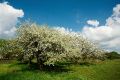 Apple tree in blossom Royalty Free Stock Images