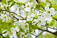 Apple-tree blossom. Flowers on the apple tree Royalty Free Stock Photos