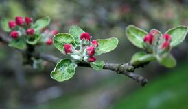 Apple-tree blossom. Rose color of apple-tree blossom in spring stock photography