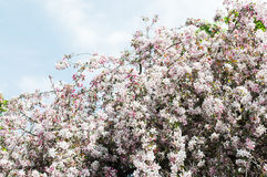 Apple tree blossom. Against the blue sky Stock Photography