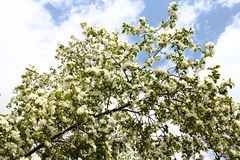 Apple tree blossom Royalty Free Stock Images