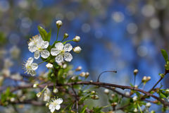 Apple tree blossom. Against spring sky royalty free stock images