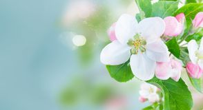 Apple tree blossom. Apple tree flowers blossom with green leaves over sky close up banner Royalty Free Stock Photography