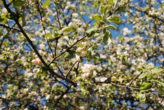 Apple tree blossom. Blooming spring in the garden royalty free stock images
