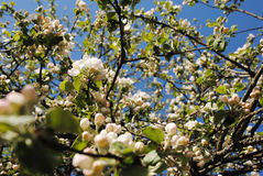 Apple tree blossom. Blooming spring in the garden stock image
