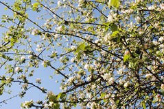 Apple tree blossom. Blooming spring in the garden stock photography