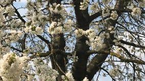 Apple tree blossom stock video