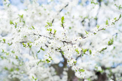 Apple tree blossom on blue sky. Spring garden, outdoor Royalty Free Stock Images