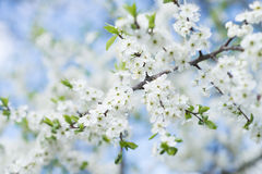 Apple tree blossom on blue sky. Spring garden, outdoor Stock Photos