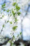 Apple tree blossom on blue sky. Spring garden, outdoor Royalty Free Stock Photos