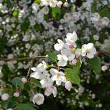 Apple tree blossom. Branche with white flowers.  Stock Image