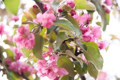 Apple-tree blossom branches with pink flowers royalty free stock photo