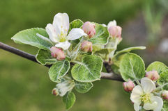 Apple tree blossom and buds. Apple tree flowers and buds of closeup on a sunny day royalty free stock photo