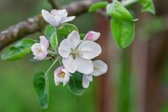 Apple tree blossom close-up Royalty Free Stock Photos