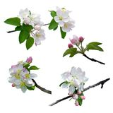 The apple tree is in blossom. Close-up. Isolated. Nature in spring. Blooming apple tree. royalty free stock photography