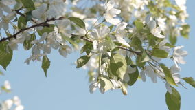 Apple tree blossom. Close-up shot of blooming apple tree. Branch with white flowers wvaning in the wind. Spring time stock footage