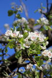Apple tree blossom. A close view of some white apple tree flowers heralding the spring Stock Photos