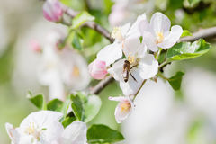 Apple tree in blossom Stock Photo