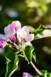 Apple tree blossom on defocused background Royalty Free Stock Photo