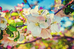 Apple tree blossom floral background inatagram Royalty Free Stock Image