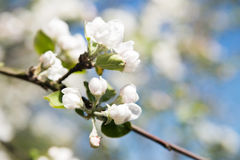 Apple tree blossom flower. Macro. Royalty Free Stock Image